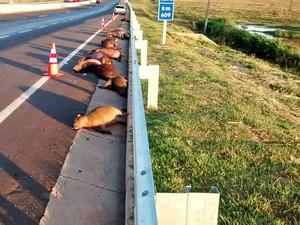 Onze capivaras adultas e quatro filhotes foram atropeladas na rodovia (Foto: Marcos Moreira de Almeida/Cedida)