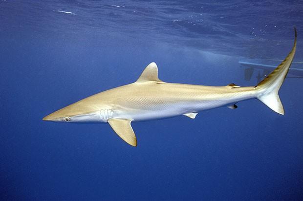 Essa espécie de tubarão é encontrada em diversas partes do mundo e vive quase sempre em mar aberto (Foto: Divulgação/Daniel Botelho)