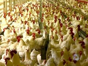 Avicultura em MS (Foto: Reprodução/TV Morena)
