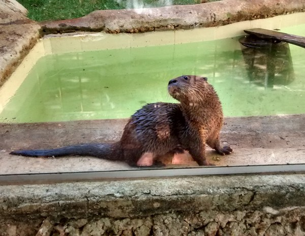 A lontra Sushi, que virou atração no Zoológico de Brasília depois de ser resgatada perto de rio (Foto: Jéssica Simabuku/G1)