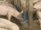 Criadores de porcos vendem animais mais cedo para reduzir gastos em MG