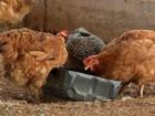 Produtores enfrentam dificuldades para manter aviários ativos em MT
