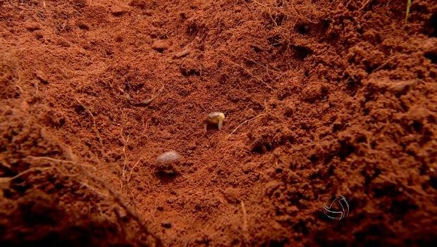 Sementes de soja têm baixa germinação na safra 14/15 em Mato Grosso (Foto: Reprodução/TVCA)