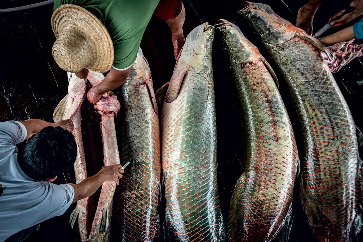 Como a tradição de comunidades ribeirinhas está ajudando a salvar o pirarucu