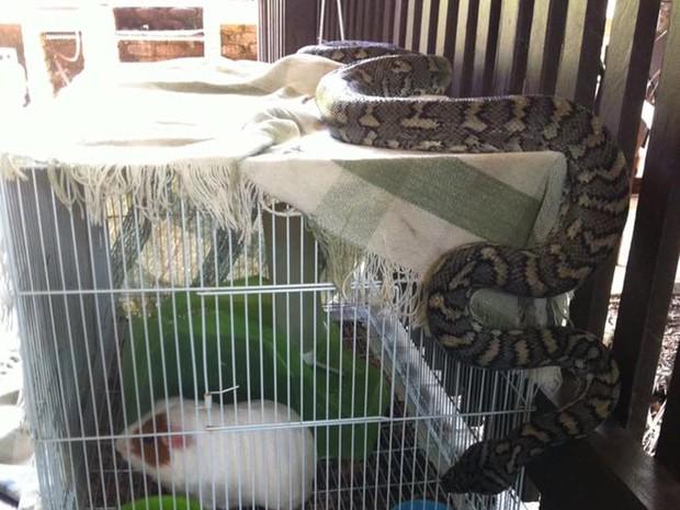 Flagra mostra cobra enorme de tocaia em gaiola de porquinho-da-índia  (Foto: Reprodução/Facebook/Snake Catchers Brisbane, Ipswich, Gold Coast & Toowoomba)