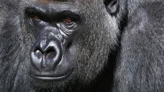 Hominídeos já tiveram dieta similar aos primatas de hoje (Foto: BBC)