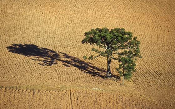 Remanescentes de araucárias no Paraná (Foto: SPVS)