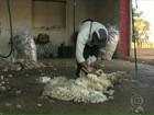Produtores de ovelhas redobram os cuidados durante o inverno no RS