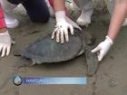 10 tartarugas ficam presas em redes ilegais e apenas 3 sobrevivem em SC