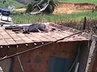 Vaca escorrega e cai no telhado de casa em São João do Manteninha