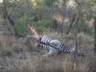 Leopardo se assusta após carcaça de zebra 'estourar' em parque africano