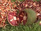 Agricultores investem em tecnologia para produzir pinhão na serra de SC
