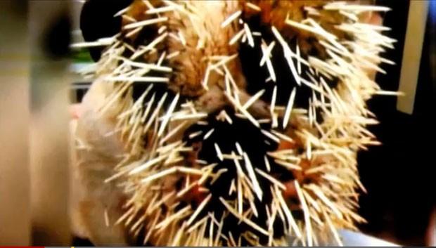 Segundo os veterinários, havia cerca de 500 espinhos na cadela.  (Foto: Reprodução)
