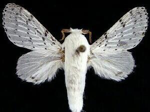 Mariposa da espécie 'Artace cribraria', fotografada nos EUA (Foto: Mississippi Entomological Museum/Divulgação)
