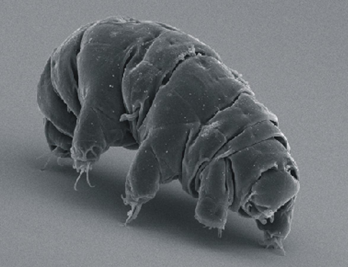 Tardígrados poderiam sobreviver a um apocalipse nuclear