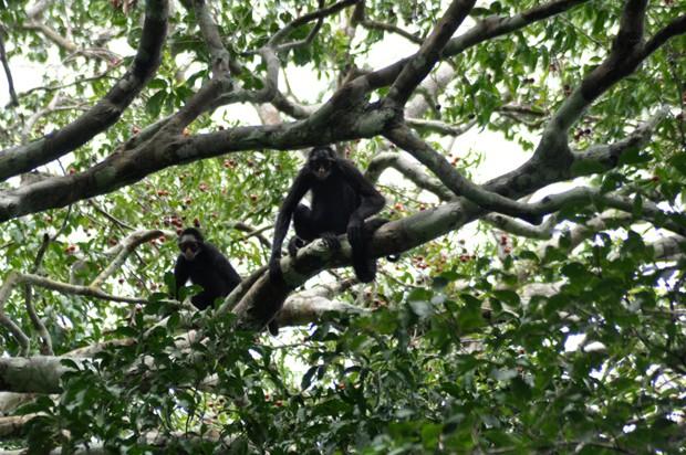 Vive na floresta amazônica e também em florestas altas, chuvosas, inundáveis ou em terra firme (Foto: Carlos Alberto Coutinho / TG)