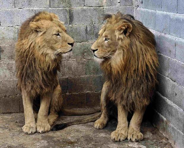 Local onde leões eram mantidos era pequeno, com grades enferrujadas e sujeira, diz ONG (Foto: Mihai Vasile/Four Paws/Reuters)