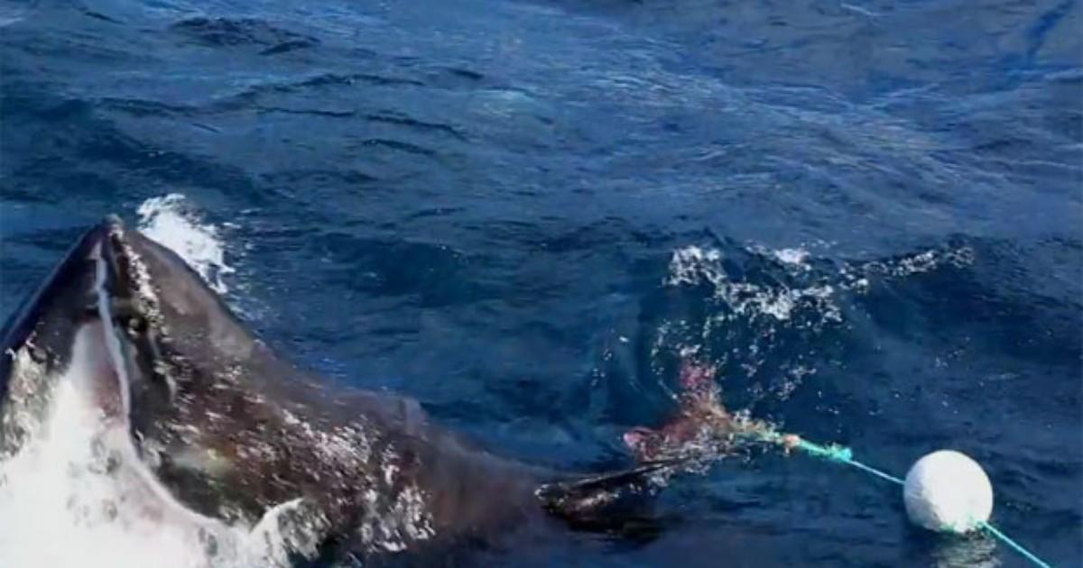 Australiano registra confronto entre 2 grandes tubarões brancos