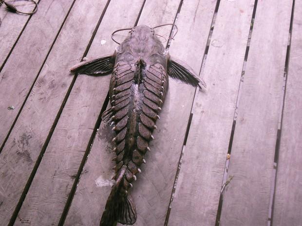 Peixe cuiu-cuiu capturado durante pesca esportiva (Foto: Leopoldo Machado/Arquivo Pessoal)