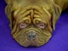 Cães são flagrados exaustos em tradicional competição canina em NY