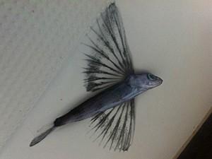 Peixe-voador visto na viagem (Foto: Facebook/Reprodução/Florence Renault)