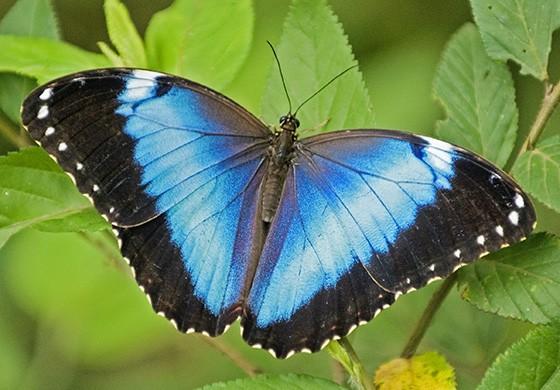 A morfo azul ou capitão-do-mato (Morpho helenor achillides) é uma das borboletas mais icônicas do Brasil (Foto: © Haroldo Palo Jr/Vento Verde)