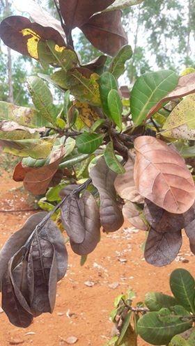 cajueiro-folhas-secas (Foto: Celso Graciliano)