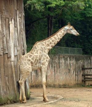 Girafa no zoológico de SP (Foto: Maria Aparecida Andrade Araújo/VC no G1)