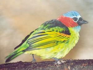 Saíra-militar é um dos pássaros raramente avistados em outras regiões (Foto: Maicon Mohr/Arquivo pessoal)