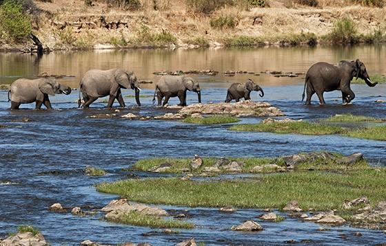 Uma família de elefantes cruza o rio Ruaha, no Parque Nacional Ruaha  (Foto: © Haroldo Castro/ÉPOCA)
