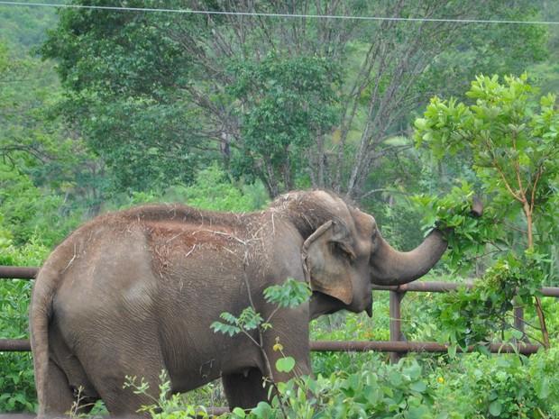 Elefantas já estão em santuário em MT (Foto: Carolina Holland/G1)