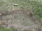 Operação do GTA destrói 100 mil pés de maconha na Baixada Maranhense