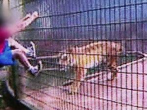 Menino atacado por tigre pediu para que não matasse o animal, diz pai (Foto:  Globonews)