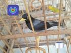 Sete homens são presos com pássaros nativos em Ubatuba, SP