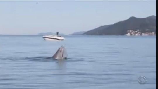 Dezenas de golfinhos são avistados na Grande Florianópolis; VÍDEO