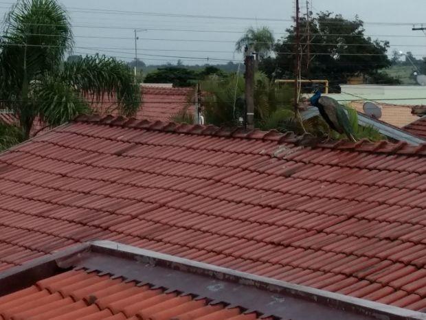 Pavão está nos telhados de casas (Foto: Cássia Munhoz/Arquivo Pessoal)