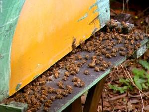 Apicultores da região de São Carlos enfretam mortandade de abelhas (Foto: Wilson Aiello/EPTV)