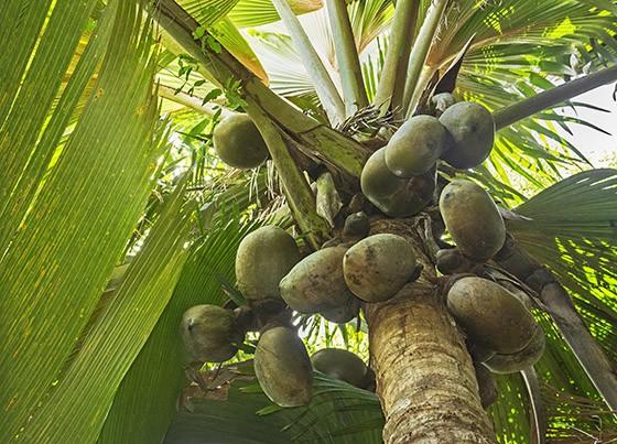Um coqueiro-do-mar maduro, repleto de frutos, na reserva Valée de Mai, em Praslin (Foto: © Haroldo Castro/Época)