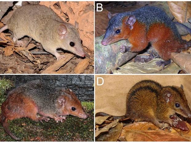 """Espécies de """"cuícas-de-rabo-curto"""" ilustrando diferentes padrões de coloração da pelagem: A, Monodelphis domestica (coloração uniforme); B, M. touan (laterais avermelhadas); C, M. emiliae (cabeça e lombo avermelhados); D, M. americana (listras dorsais esc (Foto: Divulgação/T. Semedo; S. Pavan; T. Semedo; D. Pavan)"""