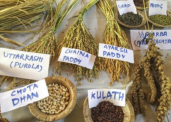 Exemplos das variedades de grãos e de cereais plantados na Navdanya  (Foto: © Giselle Paulino)