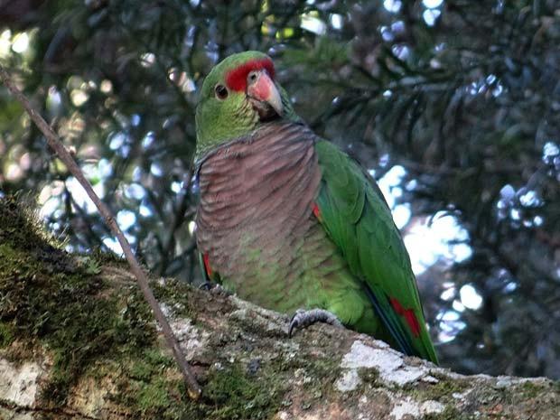 Um exemplar de papagaio de peito roxo é flagrado em árvore de Curitiba; espécie está sob ameaça, segundo estudo feito no Brasil, Paraguai e na Argentina (Foto: AFP PHOTO/MARIA LUIZA)