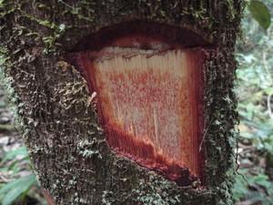 Virola calophylla está entre as espécies de plantas catalogadas (Foto: Tiago Condé)