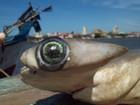 Estudo alerta sobre venda de arraias e tubarões em risco de extinção