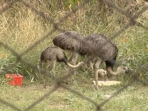 Emas que sobraram no zoológico de Araçatuba (Foto: Reprodução / TV TEM)