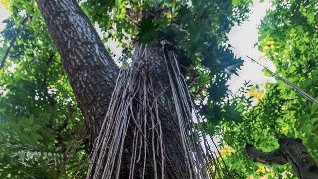 Brasil;Meio Ambiente;Amazônia;Preciosidade  Cotado a US$ 3 mil por metro cúbico, o mogno foi alvo de exploração predatória nos anos 80 e 90. Hoje é quase tão raro como o chifre de rinoceronte-branco (Foto: Odair Leal)