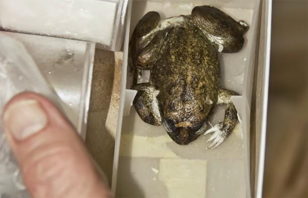 Rã da espécie XYZ, que ficou congelada por 40 anos (Foto: Divulgação/Bob Beale/Projeto Lazarus)