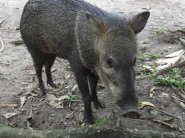 Agricultora foi atacada por porcos do mato 'queixada' (Foto: Regiandro Albuquerque/TV Amazonas)