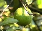 Aumento do custo de produção preocupa produtores de limão de SP