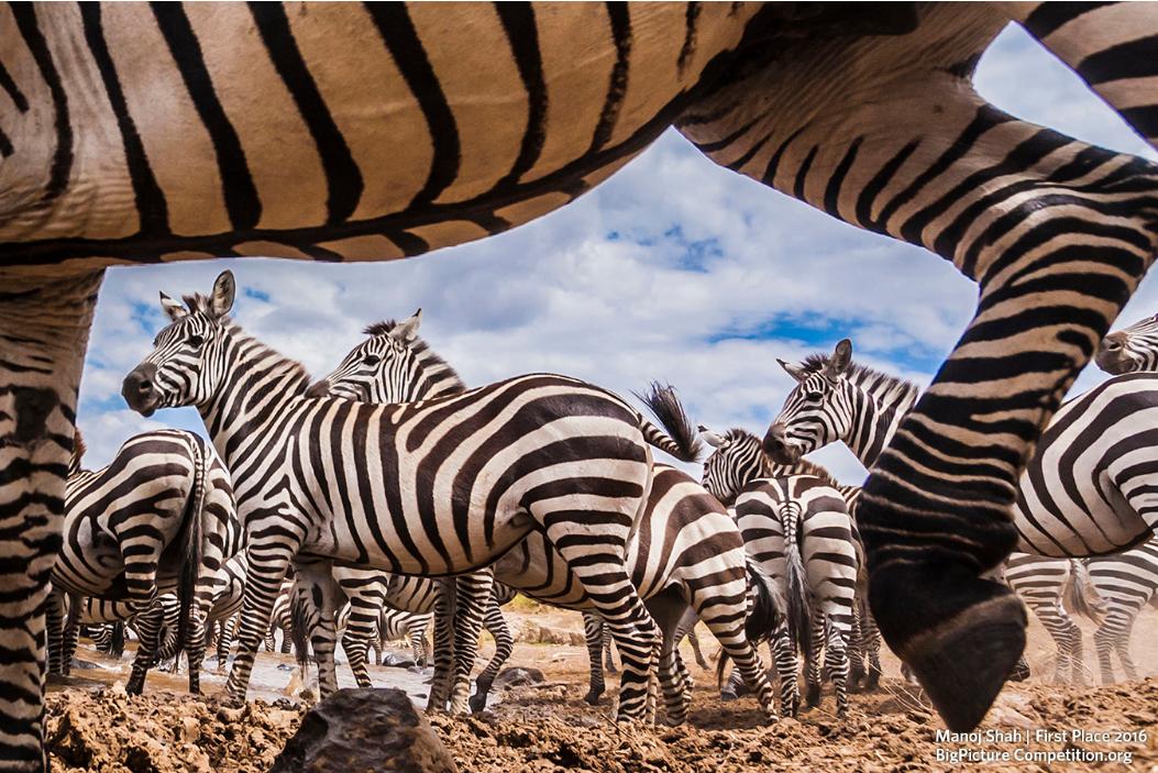 """Categoria Vida Selvagem Terrestre - """"Uma Cruzada Corajosa"""", fotografada pelo queniano Manoj Shah, no Quênia (Foto: Manoj Shah)"""