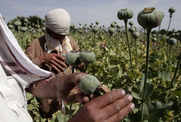 Foto de maio de 2013 mostra afegãos coletando ópio em plantação no distrito de Khogyani (Foto: Rahmat Gul/AP)